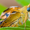 This colourful insect just came out of its cocoon and drying up its wings before taking off