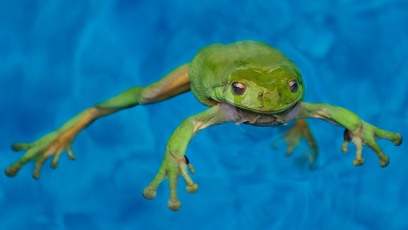 Green frog having a swim in the swimming pool
