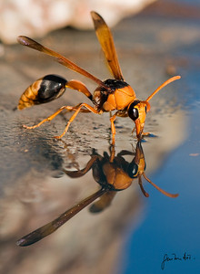 A wasp getting water to build its nest
