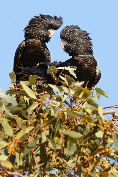 juvenile black cackatoos