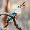 youngblue-winged kookaburra easier to approach while they are busy feeding themselves
