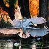 Egret dance at sunset