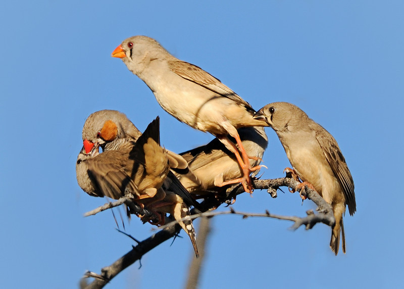 juvenile zebra finches trying to grab some food from their parents
