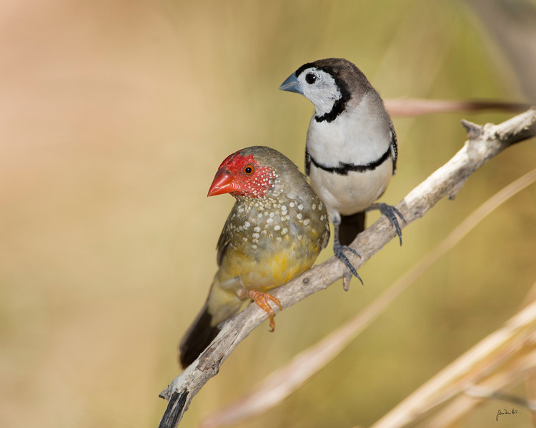 a male star fiinch & double bar finch