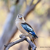 Blue winged Kookaburra,
