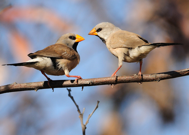 long tail finches