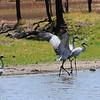 Brolga in Perrys Lagoon, Wyndham