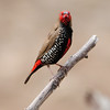 Male painted Finch
