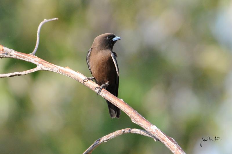 Friendly wood-swallow
