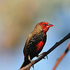 Painted finch, a bird rarely seen, I spotted it in a very dry area in the bush, very remote place