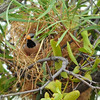 Long tail finch nest