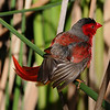 Crimson finch male,