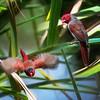 Crimson finches