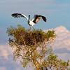 Jabiru and nest