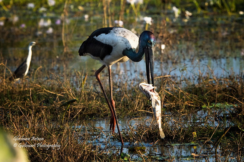 jabiru & barra 087402017_0447 copy