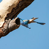 Kingfisher flying out of its nets