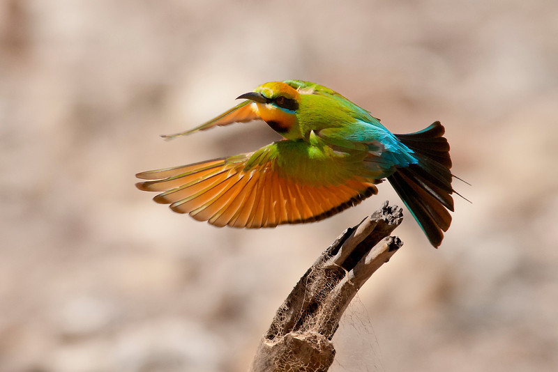 Bee eater flight -vkimberley western australia birds