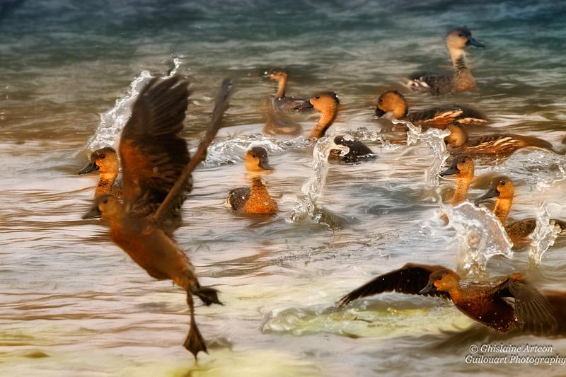 Wristling ducks