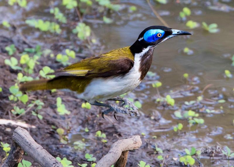 blue face honey-eater