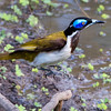 blue face honey-eater