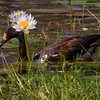 Magpie goose and nenuphar