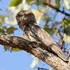 Frog mough owl