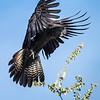 Black cackato