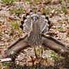 bush-stone curlew displaying a fantastic show