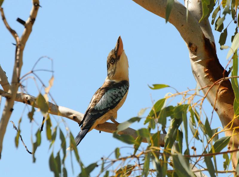 Northern Australia Kookaburra