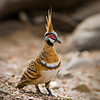 Spinifex pigeon, I call them Indian for their funny hat mad of feathers