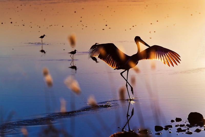 Flight of Jabiru at sunset