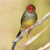 A male starfinch