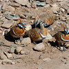 Spinifex pigeons live in a very rocky and arid environment, they more often walk than fly