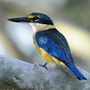 colourful kingfisher from the north western Australia