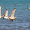 godwits flying