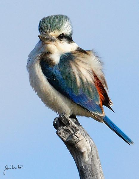 Male kingfisher bird found inland, Nothern Australia