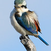 Male kingfisher bird found inland, Nothern Australia