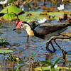 Comb crested Jacana, lives in lagoon, pond