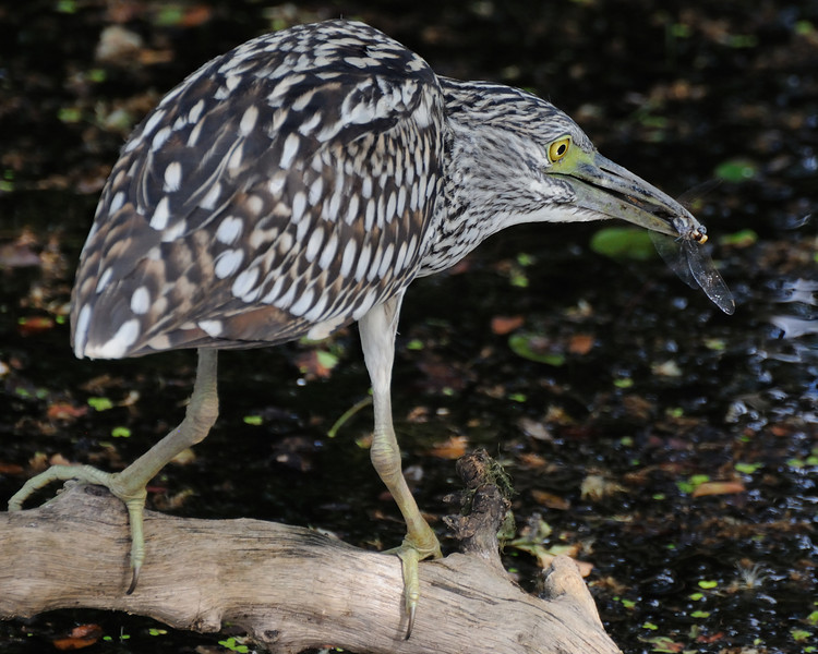 A Nankeen (night heron) feeding on a dragonfly, normally feeds nocturnally and I was very lucky to see one a Perrys Lagoon (Marlgu Billabong) around Wyndham