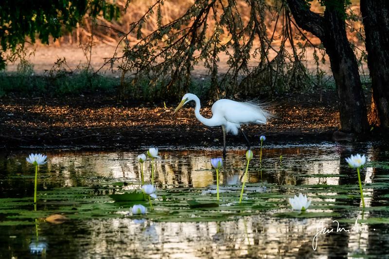 Great Egret & waterlilies