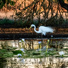 Great Egret & waterlilies