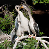 Long neck cormorant feeding its chicks