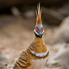 Spinifex pigeon, very shy bird - mainly in large group and hiding of course around the spinifex