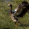magpie goose juvenile