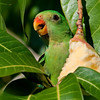 Green parrots in mango trees