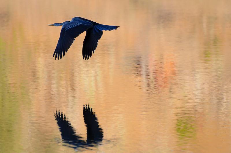 Long neck cormoran flight at sunset