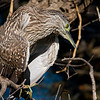 Nankeen night Heron, very uncommun to see him during daylight