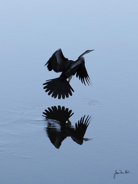 Evening reflection of Long neck cormoran