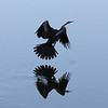 Evening reflection of Long neck cormoran