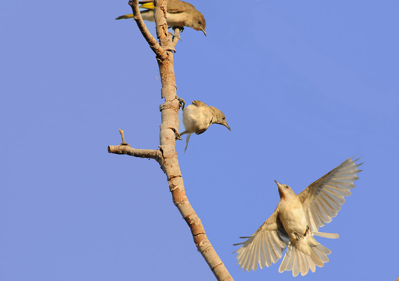 trio of finch playing